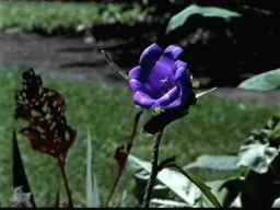 the odd blue flower