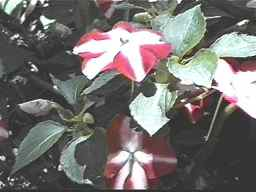 red flowers with a distinctive white pattern